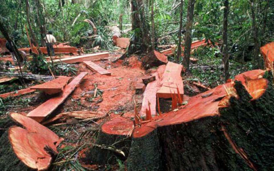 Illegal logging in Indonesia (Tribune)