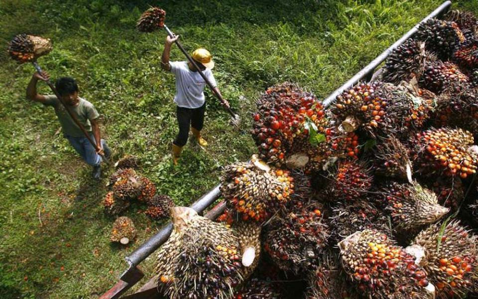 Plantation workers gather palm oil fruits (okezone)